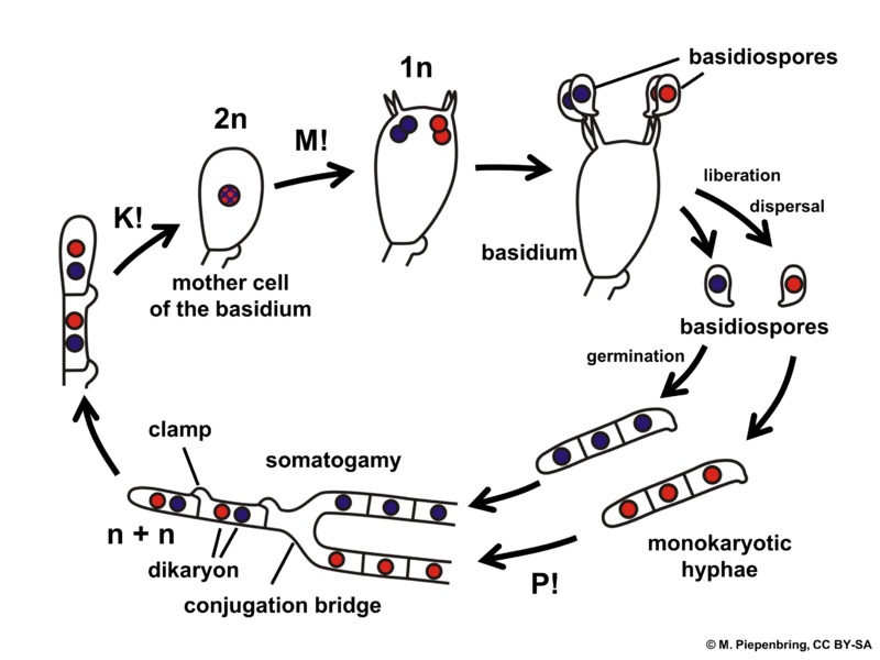 Difference Between Ascomycota and Basidiomycota