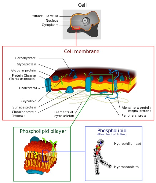 Difference Between Cell Membrane and Nuclear Membrane