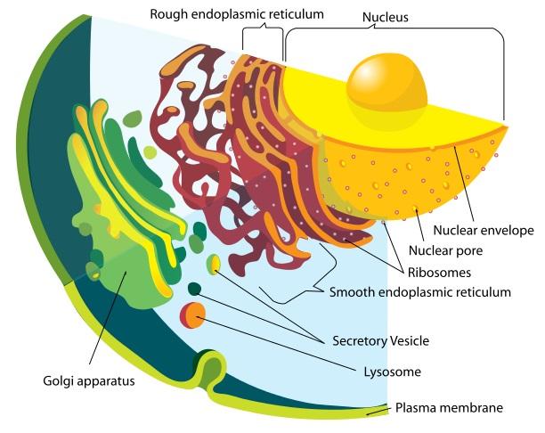 Cell Membrane vs Nuclear Membrane