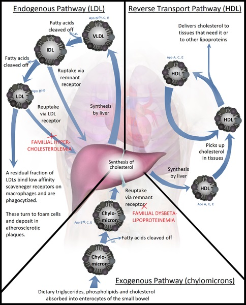 Difference Between Chylomicrons and VLDL