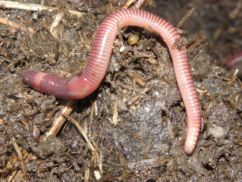 Red Wiggler Worms (Eisenia fetida)