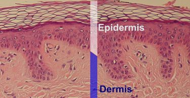 What is the Difference Between Epidermis and Hypodermis