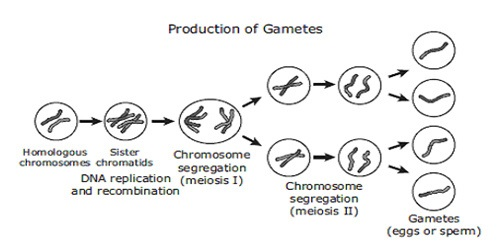 What is the Difference Between Gamete and Gametophyte