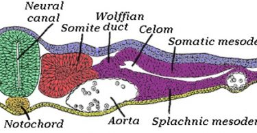 What is the Difference Between Notochord and Vertebral Column