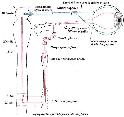 Preganglionic vs Postganglionic Neurons
