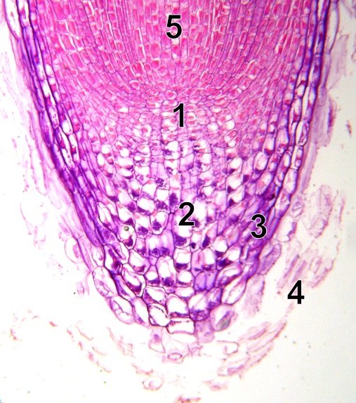 What is the Difference Between Primary and Secondary Meristem