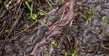 Difference Between Red Worms and Nightcrawlers