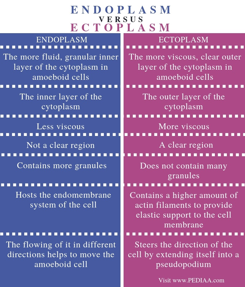 Difference Between Endoplasm and Ectoplasm - Comparison Summary