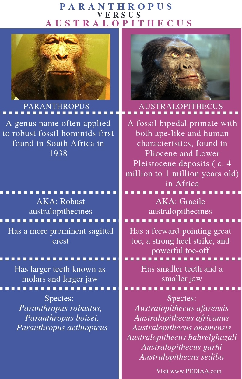 Difference Between Paranthropus and Australopithecus - Comparison Summary