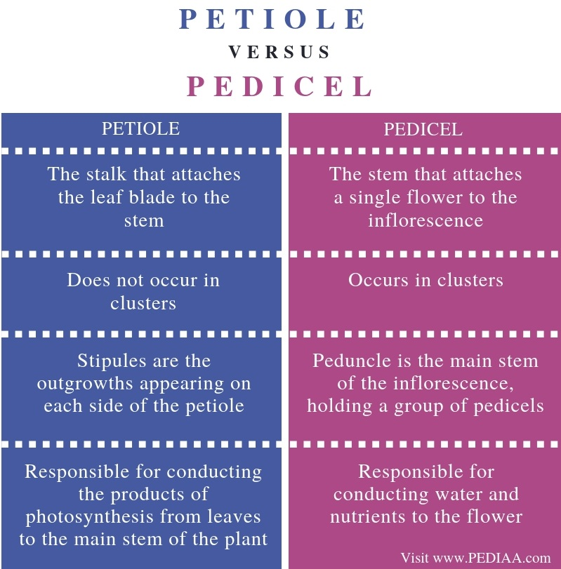 Difference Between Petiole and Pedicel - Comparison Summary