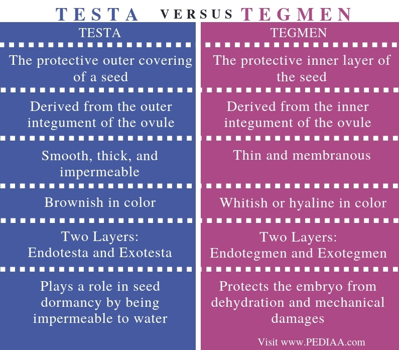 Difference Between Testa and Tegmen - Comparison Summary