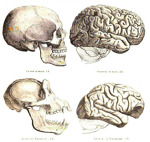 Chimpanzee Brain vs Human Brain