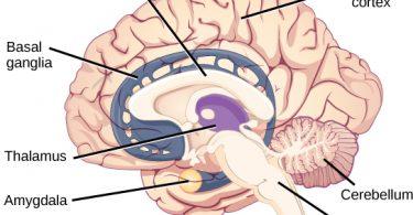 Difference Between Chimpanzee Brain and Human Brain