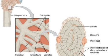 Difference Between Compact and Trabecular Bone