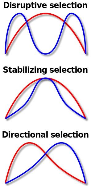 Directional vs Disruptive Selection