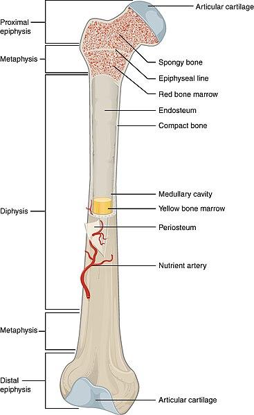 Epiphysis vs Diaphysis