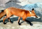 What is the Difference Between Fox and Coyote