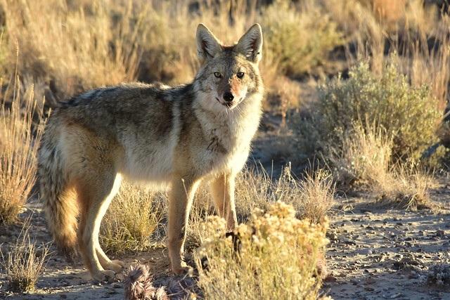Fox vs Coyote
