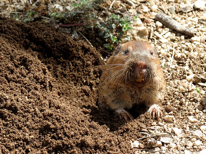 Gopher vs Groundhog
