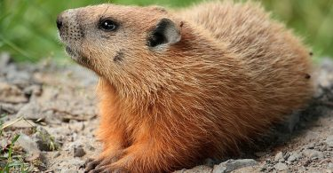 Difference Between Gopher and Groundhog
