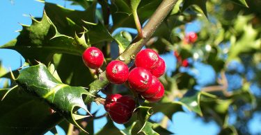 What is the Difference Between Holly and Mistletoe
