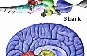 Difference Between Humans and Animals Brain