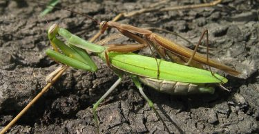 Difference Between Male and Female Praying Mantis