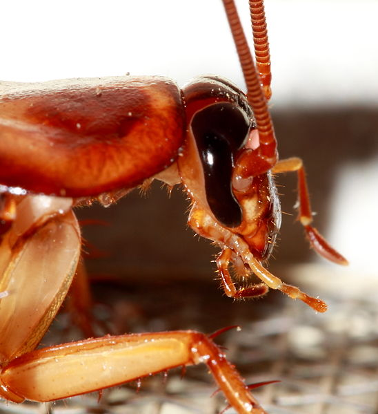 What is the Difference Between Roaches and Cockroaches