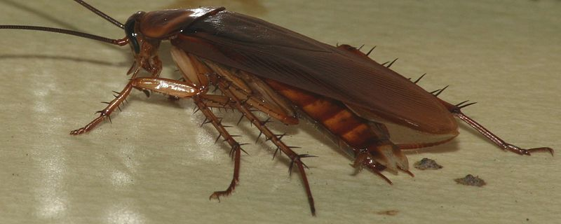 Roaches vs Cockroaches