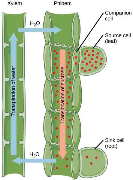 Sieve Tubes vs Companion Cells