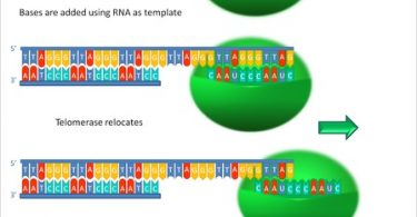 Difference Between Telomere and Telomerase