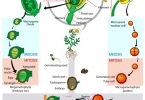 What is the Difference Between Vegetative and Generative Cell