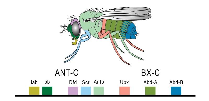 Homeobox Homeotic and Hox Genes