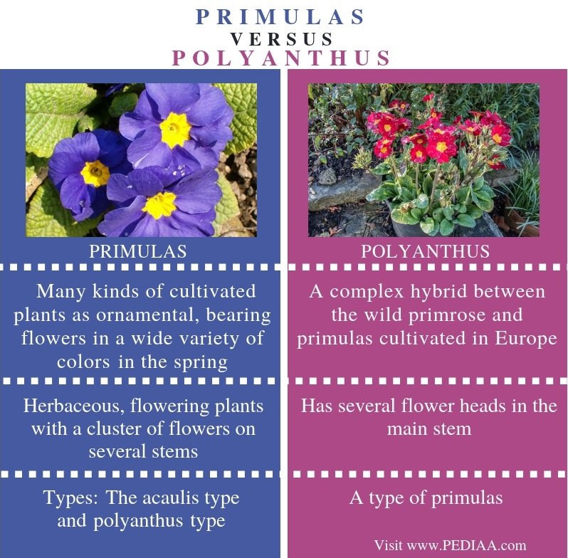 Difference Between Primulas and Polyanthus - Comparison Summary