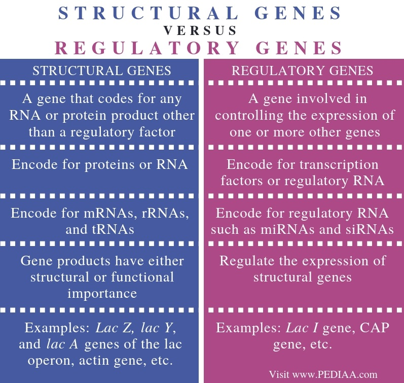 Difference Between Structural and Regulatory Genes - Comparison Summary