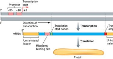 Difference Between Structural and Regulatory Genes
