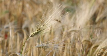 What is the Difference Between Barley and Oats