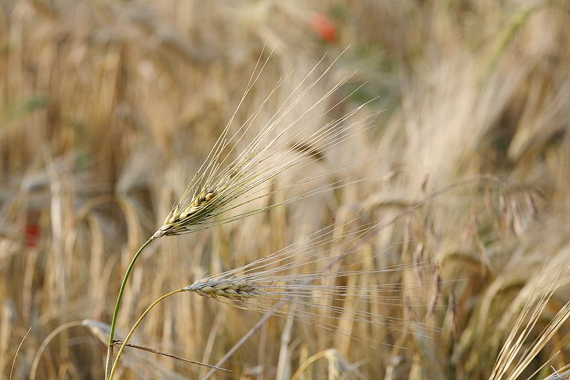 Difference Between Barley and Oats