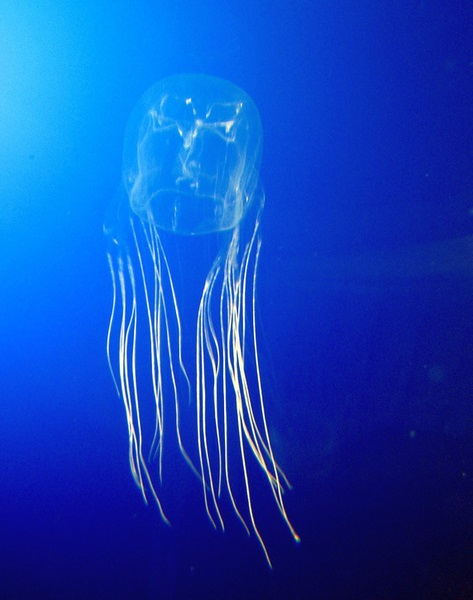 Difference Between Box Jellyfish and True Jellyfish