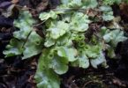 What is the Difference Between Marchantia and Riccia
