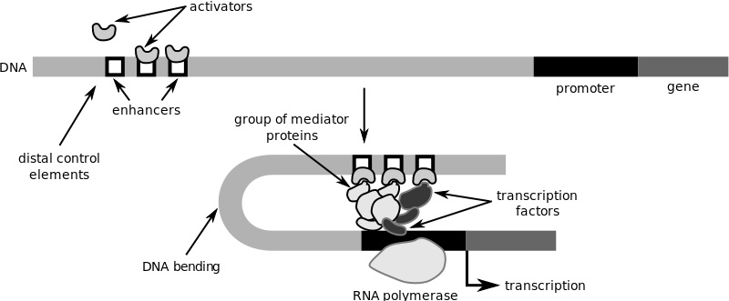 Difference Between Positive and Negative Gene Regulation