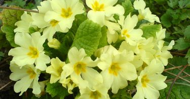 What is the Difference Between Primulas and Polyanthus