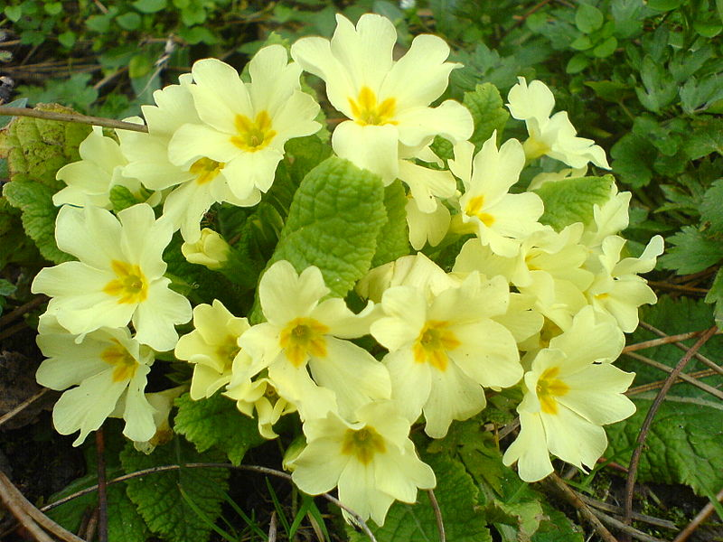 Difference Between Primulas and Polyanthus