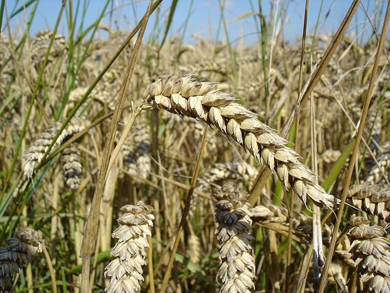 Difference Between Spelt and Wheat