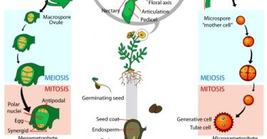 What is the Difference Between Syngamy and Fertilisation