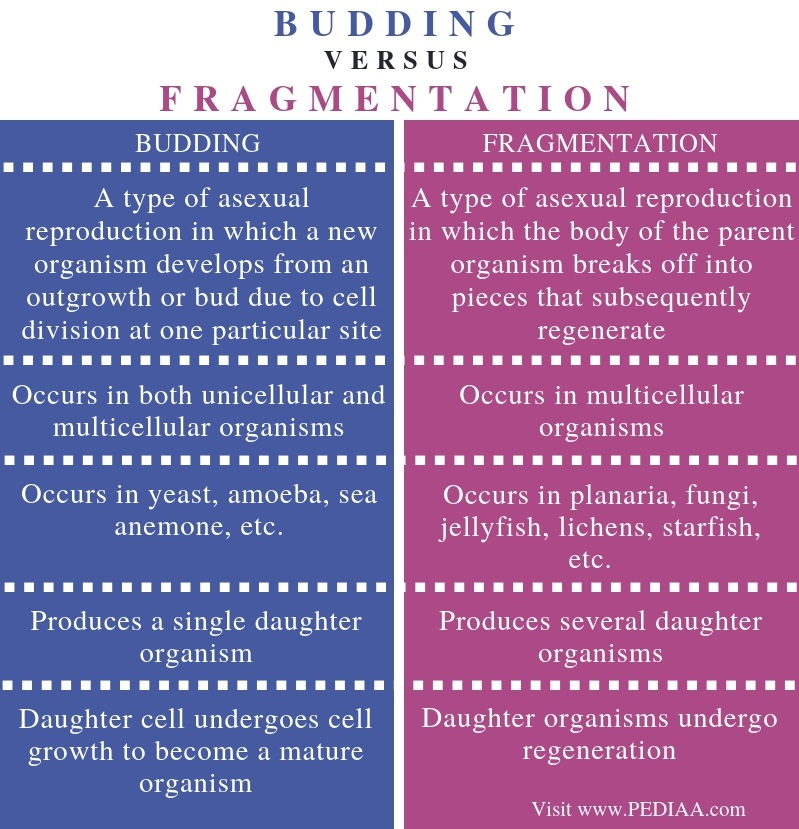 Difference Between Budding and Fragmentation - Comparison Summary