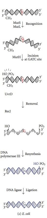 Mismatch Repair vs Nucleotide Excision Repair