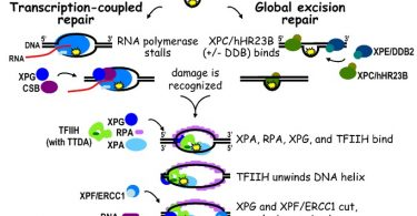 Difference Between Mismatch Repair and Nucleotide Excision Repair