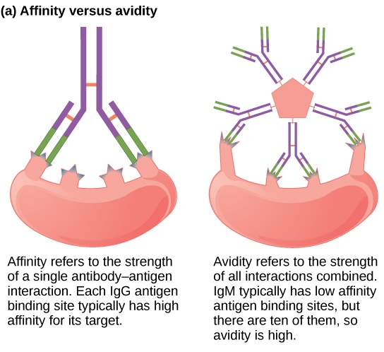 What is the Difference Between Affinity and Avidity
