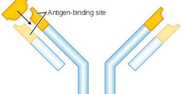 Difference Between Antigen and Immunogen